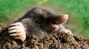 mole-lying-in-mud