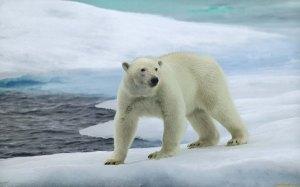 Polar-bear-HD-Wallpapers-Free-Download-1